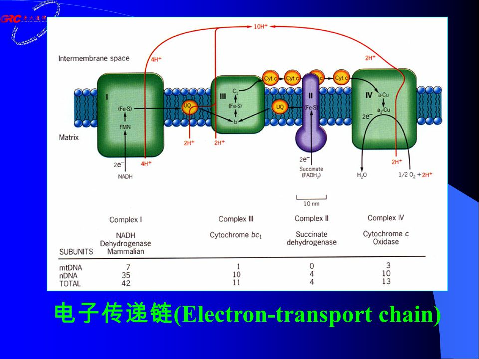 电子传递链 (Electron-transport chain)