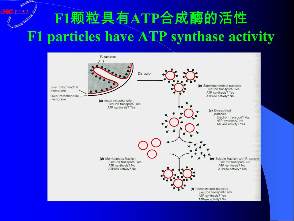 F1 颗粒具有 ATP 合成酶的活性 F1 particles have ATP synthase activity