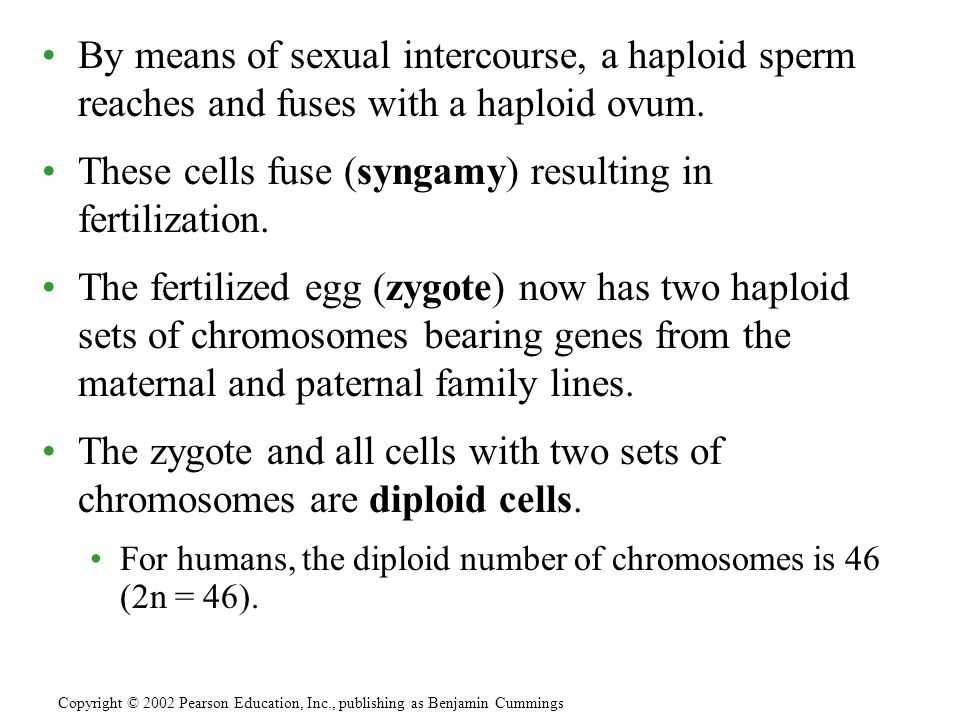 By means of sexual intercourse, a haploid sperm reaches and fuses with a haploid ovum.