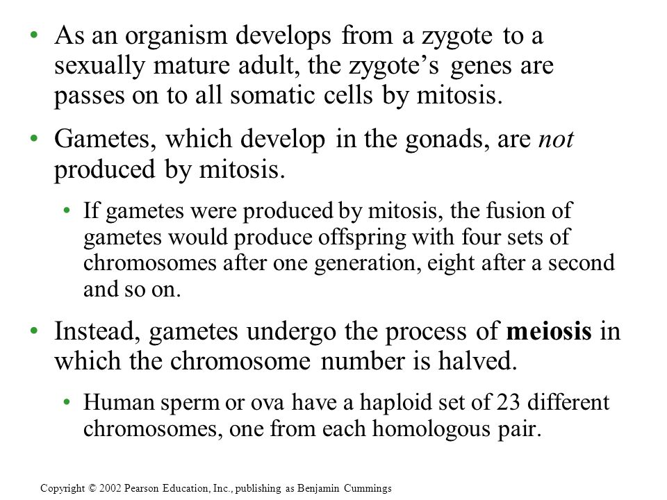 As an organism develops from a zygote to a sexually mature adult, the zygote's genes are passes on to all somatic cells by mitosis.