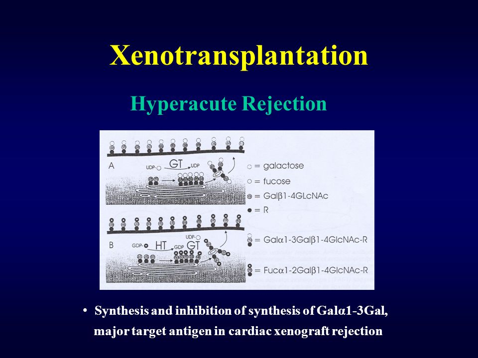 Xenotransplantation Hyperacute Rejection Synthesis and inhibition of synthesis of Galα1-3Gal, major target antigen in cardiac xenograft rejection