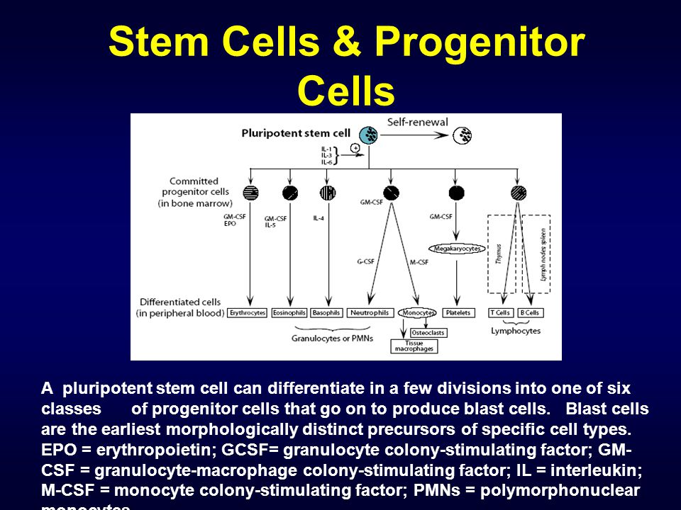 Stem Cells & Progenitor Cells A pluripotent stem cell can differentiate in a few divisions into one of six classes of progenitor cells that go on to p