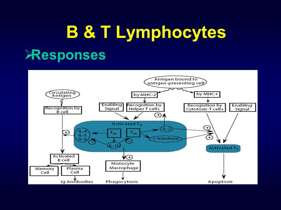 B & T Lymphocytes  Responses