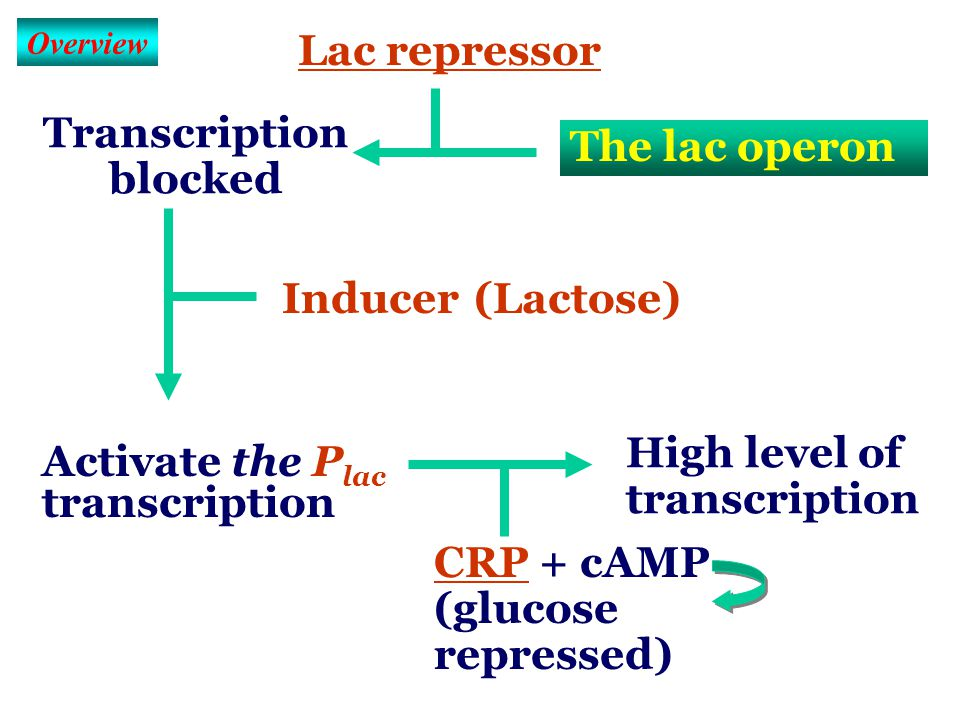L1 The Lac Operon L1 The Lac Operon 1. The operon (done) 2. The lactose operon (乳糖操纵子) 3. The lac repressor (乳糖抑制蛋白) 4. Induction (诱导) 5. cAMP recepto