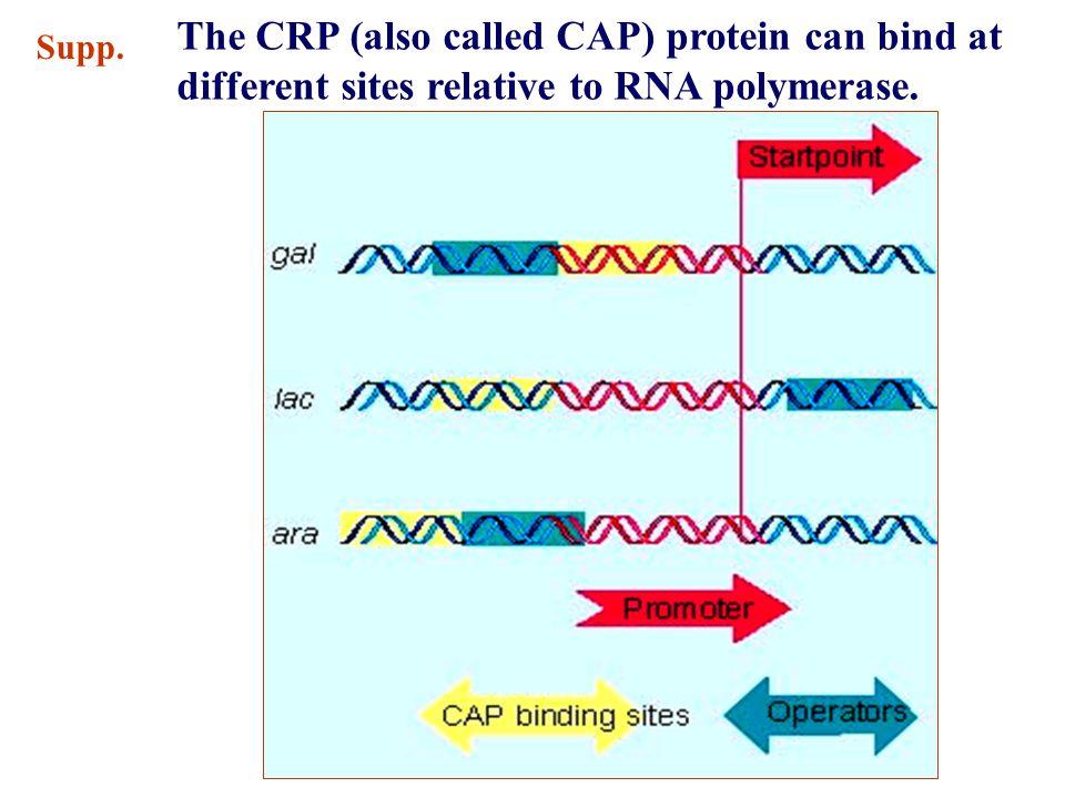C A B Summary A: RNA polymerase B: lac repressor C: CRP-cAMP