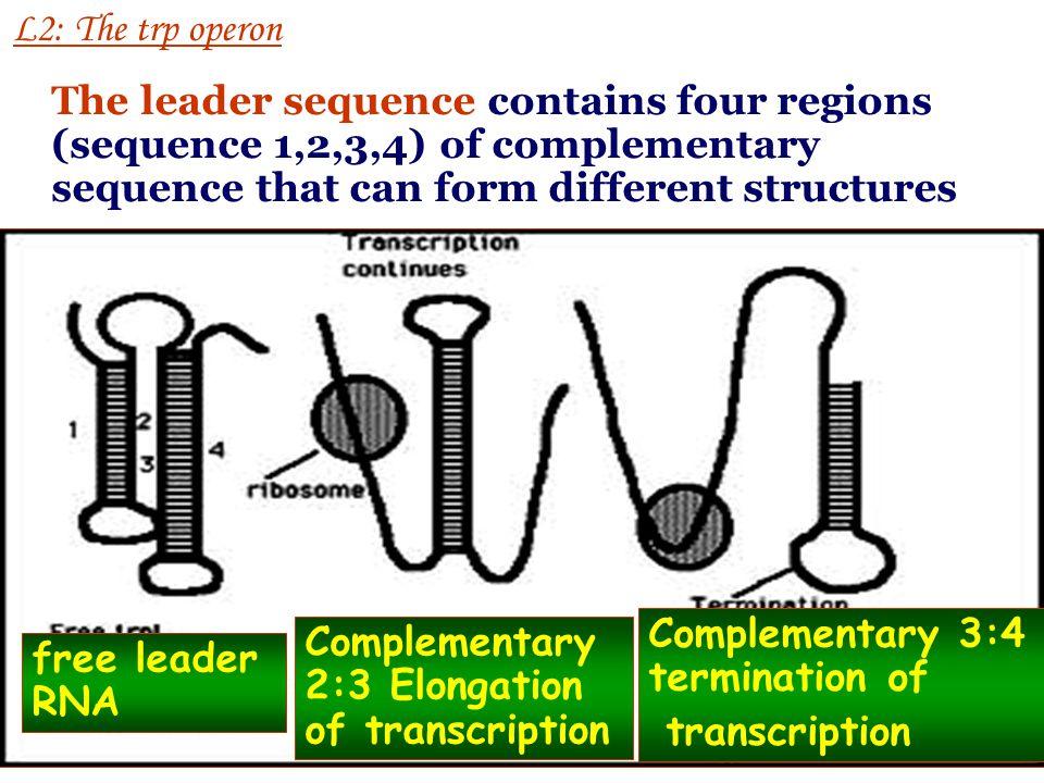 L2-4 Leader RNA structure Regulation of Transcription in Prokaryotes (先导 RNA 的结构 )
