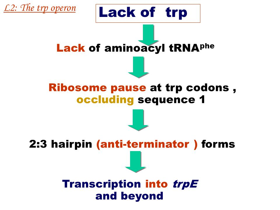 High trp Trp is inserted at the trp codons Translate to the end of leader message Ribosome occlude sequence 2 Terminate transcription because 3:4 hair