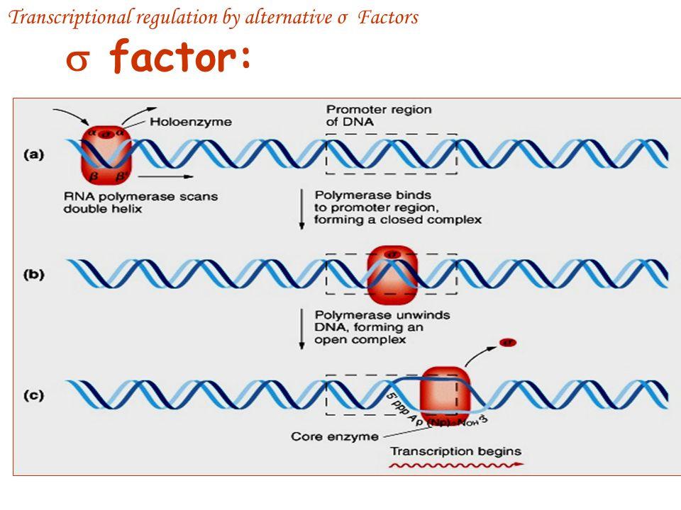 σ factor subunit bound to RNA pol for transcription initiation Released core enzyme αββ'ω RNA elongation σ factors is bifunctional protein Bind to core RNA Pol Recognize specific promoter sequence (-35 and –10) in DNA Transcriptional regulation by alternative σ Factors