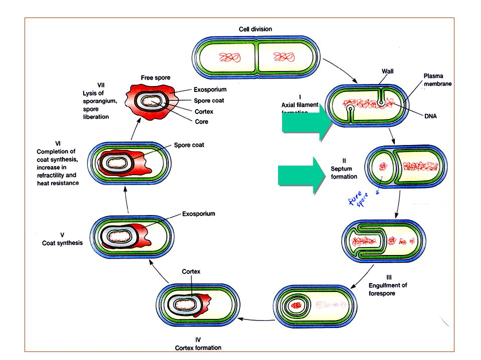L3-4: Sporulation in B.