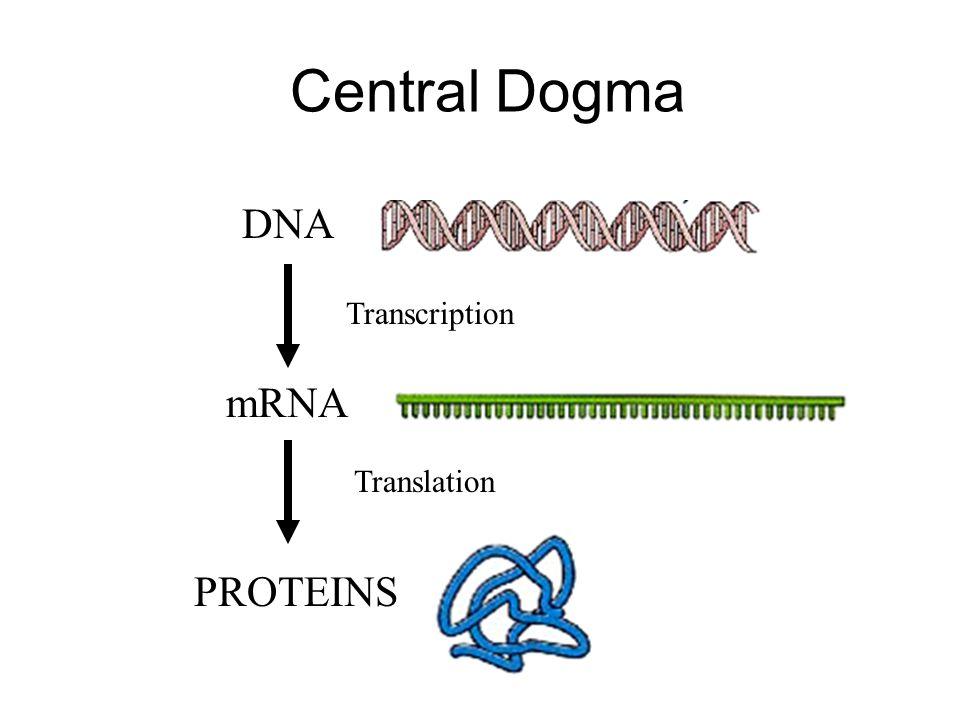 Central Dogma Transcription Translation DNA PROTEINS mRNA