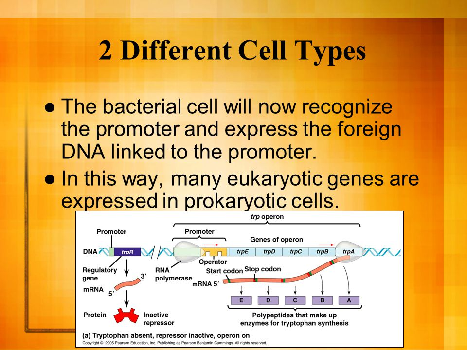 The Presence of Introns Prokaryotes lack splicing machinery, and the long eukaryotic gene is often prevented from being expressed in the bacteria.