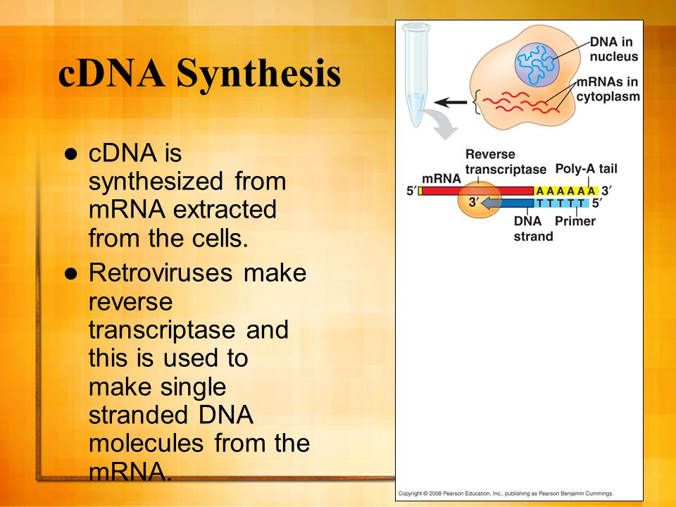 24 cDNA Synthesis mRNA gets enzymatically degraded and DNA polymerase then synthesizes a second strand of the DNA.