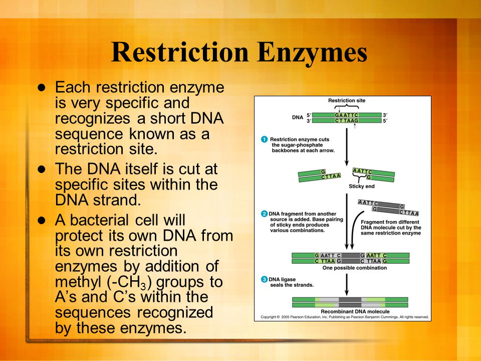 Restriction Enzymes They recognize sequences 4-6 nucleotides in length.