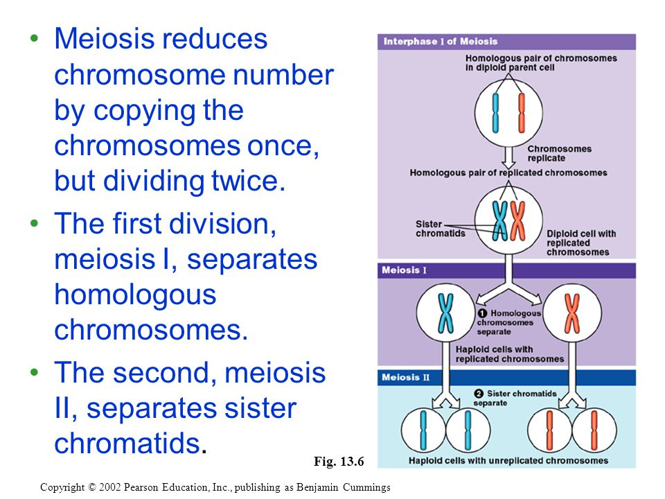Meiosis reduces chromosome number by copying the chromosomes once, but dividing twice.
