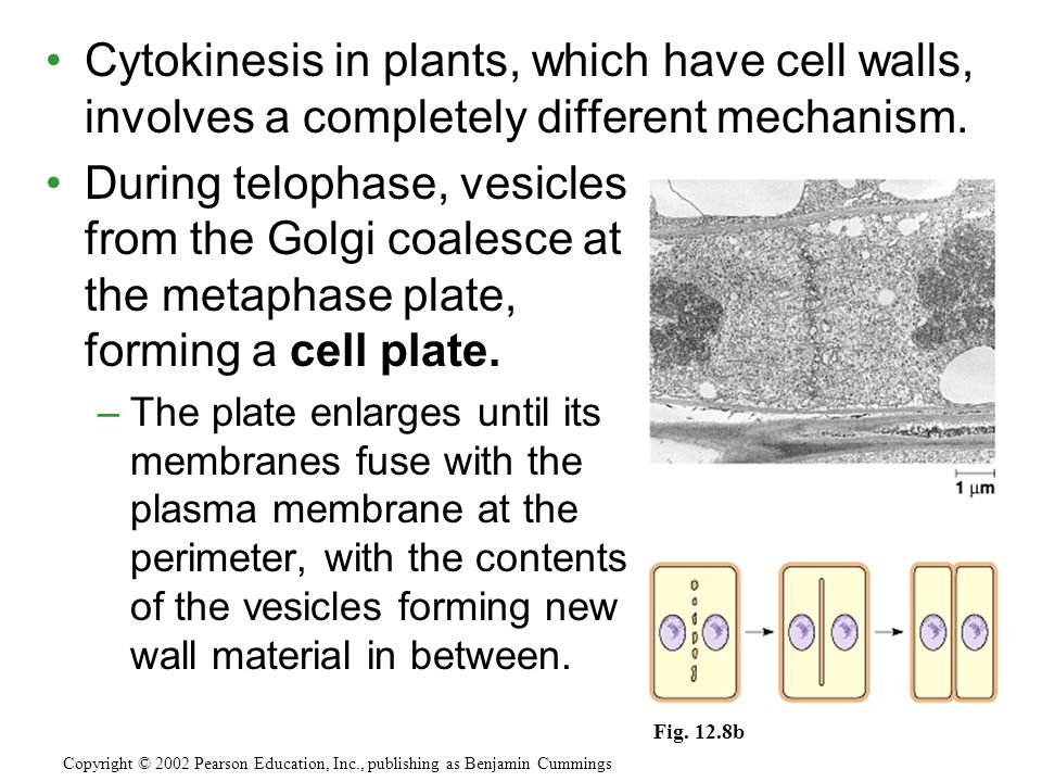 Cytokinesis in plants, which have cell walls, involves a completely different mechanism.