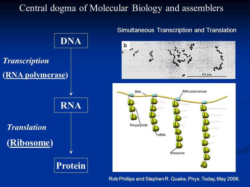 (RNA polymerase) Translation (Ribosome) DNA RNA Protein Transcription Central dogma of Molecular Biology and assemblers Simultaneous Transcription and