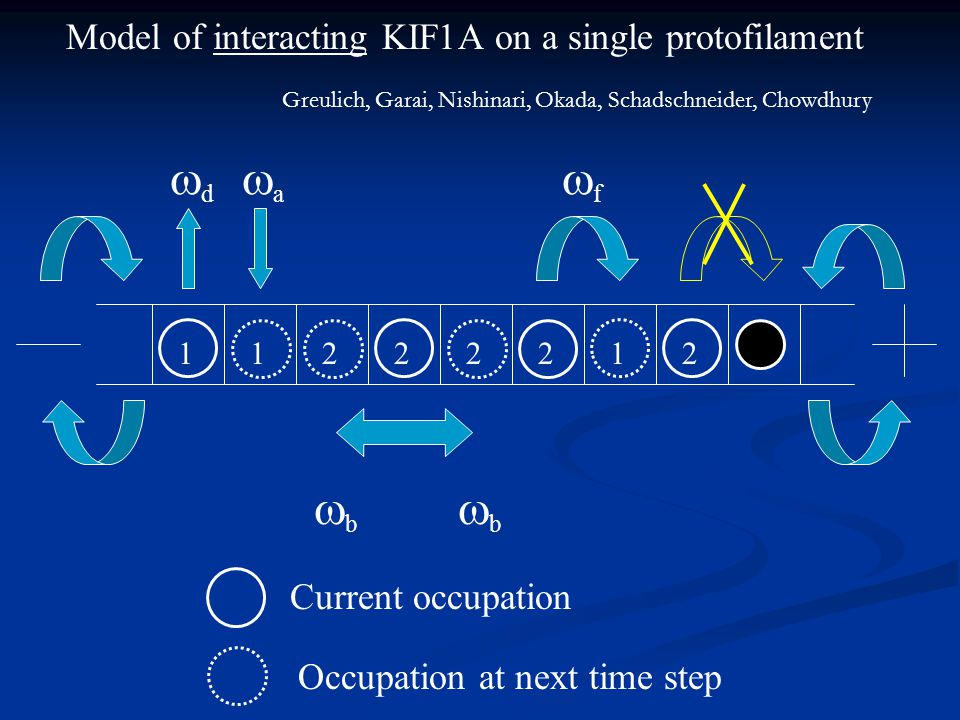 Model of interacting KIF1A on a single protofilament bb bb Current occupation Occupation at next time step ff dd aa 1 2 2 21 2 21 Greulich,