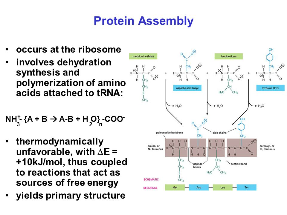 Protein Assembly occurs at the ribosome involves dehydration synthesis and polymerization of amino acids attached to tRNA: NH - {A + B  A-B + H O} -C