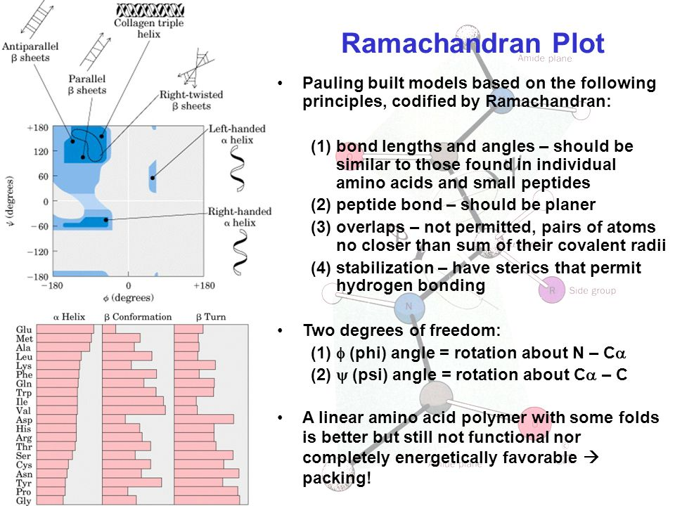 Ramachandran Plot Pauling built models based on the following principles, codified by Ramachandran: (1)bond lengths and angles – should be similar to