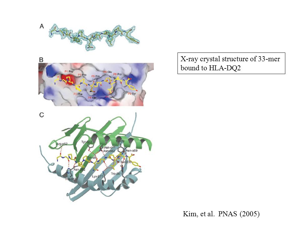 Kim, et al. PNAS (2005) X-ray crystal structure of 33-mer bound to HLA-DQ2