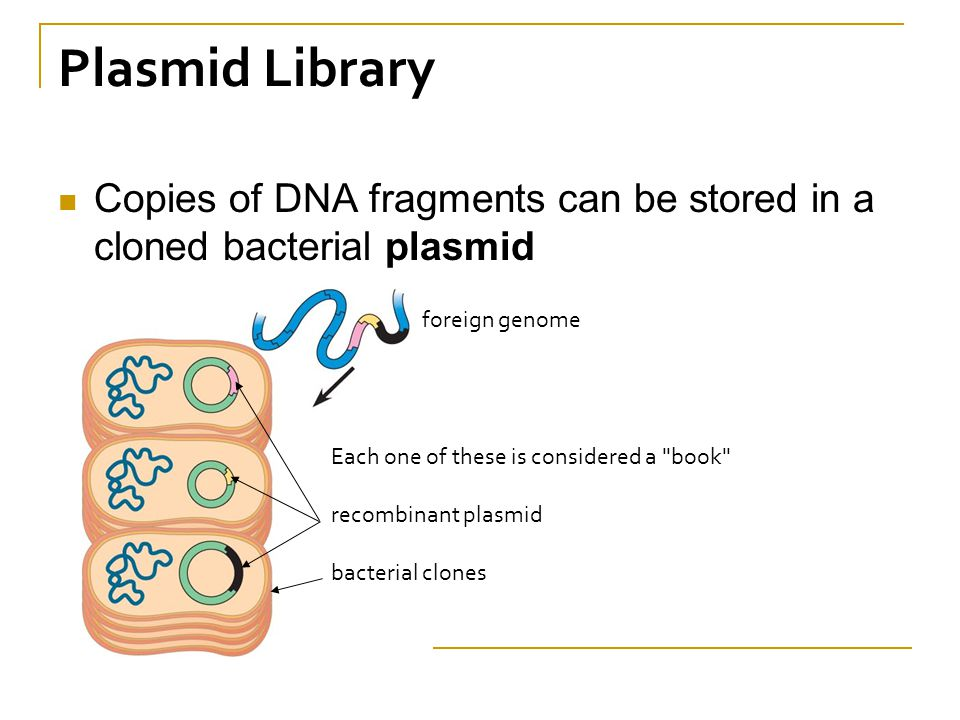 Plasmid Library Copies of DNA fragments can be stored in a cloned bacterial plasmid Each one of these is considered a book recombinant plasmid bacterial clones foreign genome