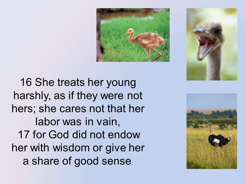 16 She treats her young harshly, as if they were not hers; she cares not that her labor was in vain, 17 for God did not endow her with wisdom or give her a share of good sense.