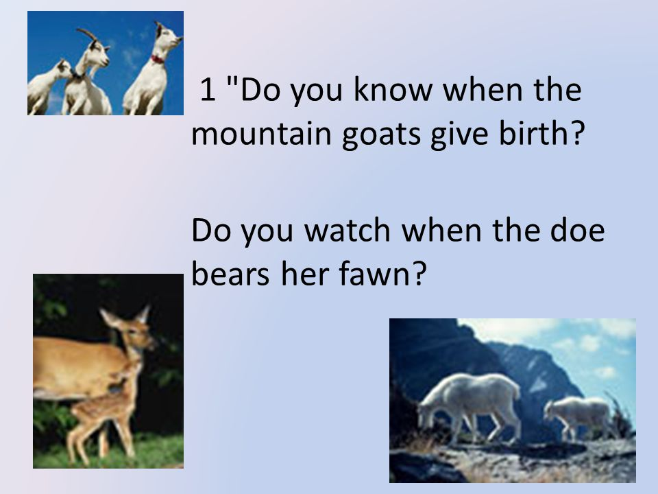 1 Do you know when the mountain goats give birth Do you watch when the doe bears her fawn