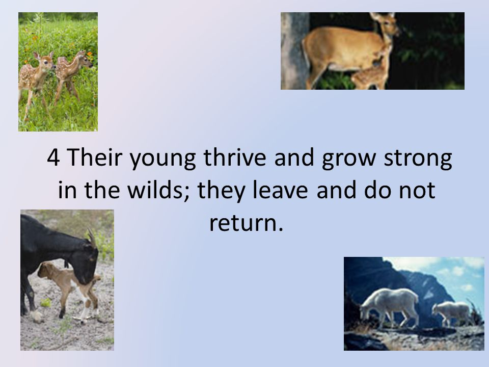 4 Their young thrive and grow strong in the wilds; they leave and do not return.