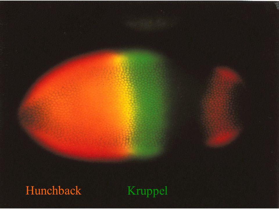 Hunchback Kruppel