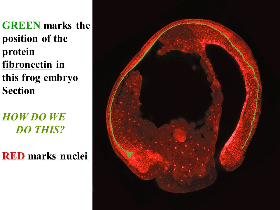 GREEN marks the position of the protein fibronectin in this frog embryo Section HOW DO WE DO THIS.