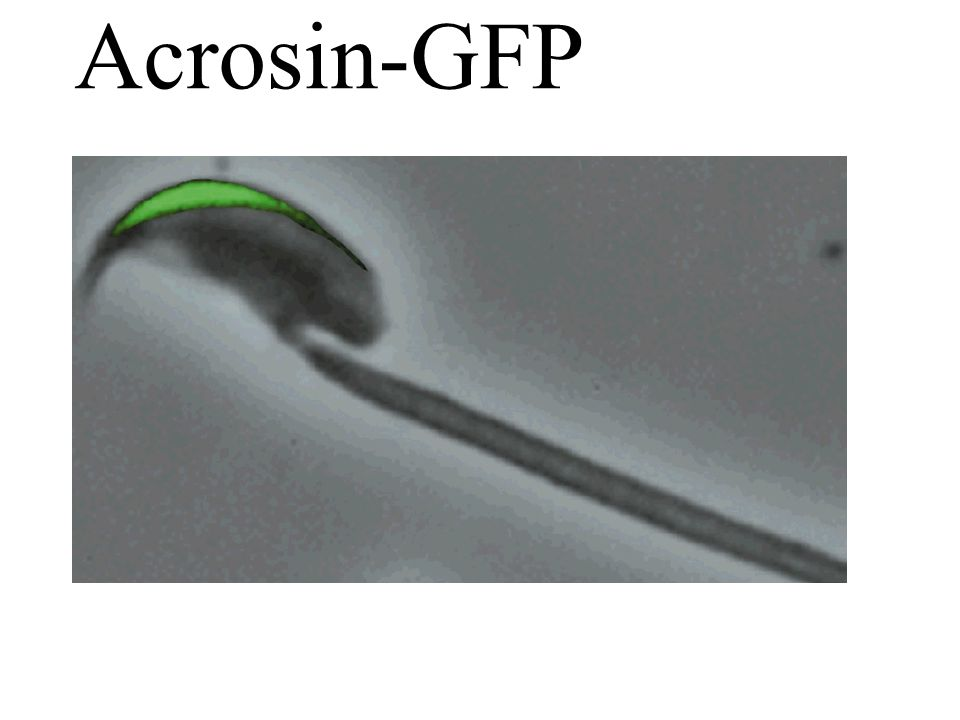 Acrosin-GFP