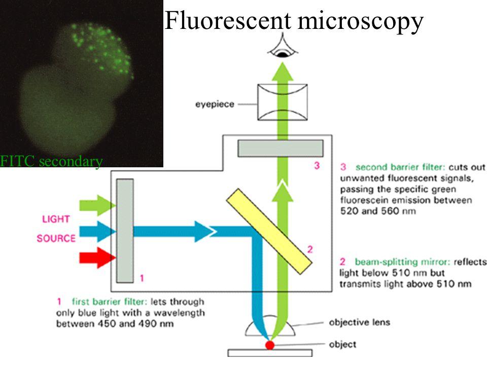 Fluorescent microscopy FITC secondary