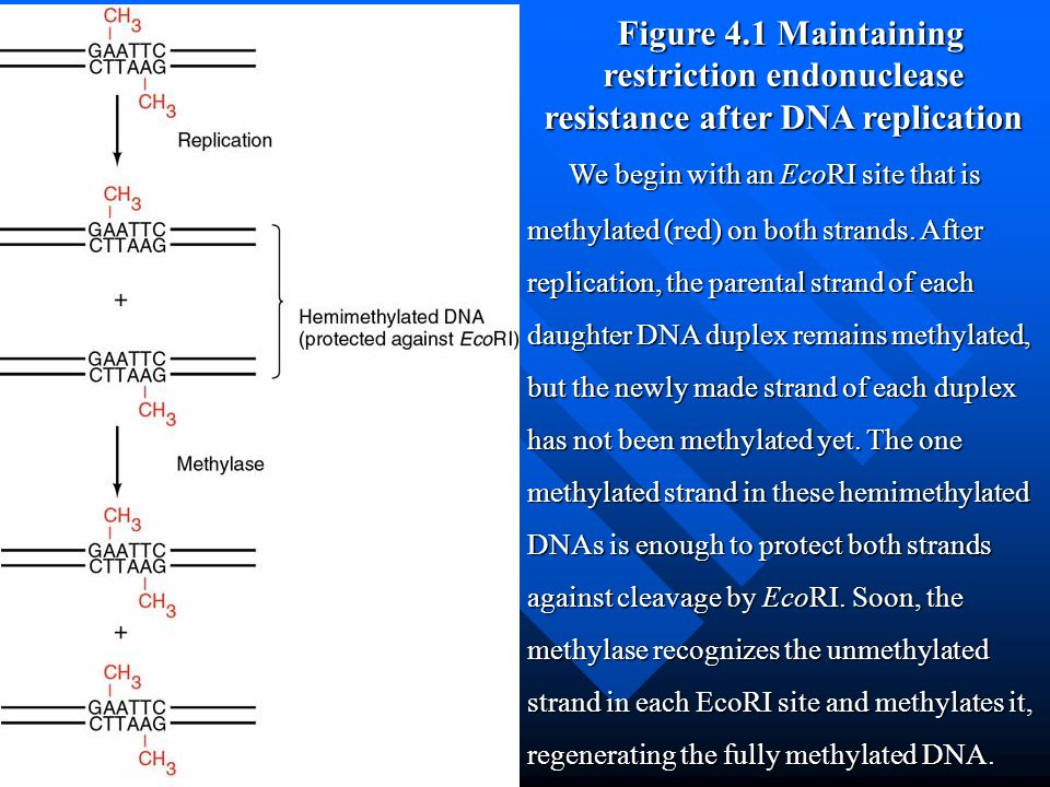 Figure 4.1 Maintaining restriction endonuclease resistance after DNA replication We begin with an EcoRI site that is methylated (red) on both strands.