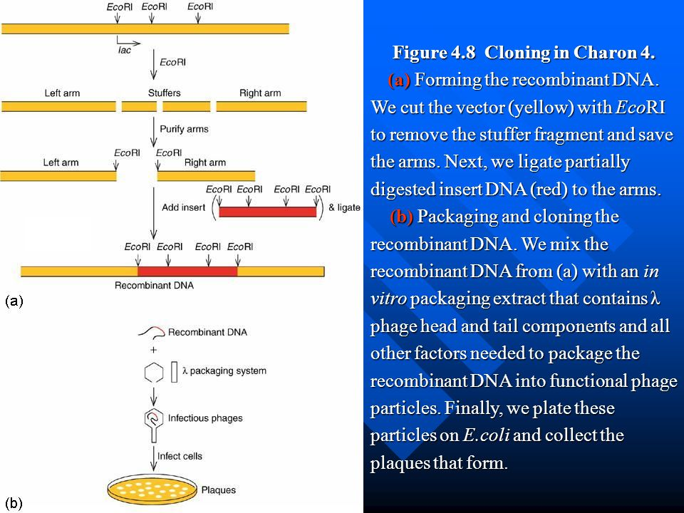 Figure 4.8 Cloning in Charon 4. (a) Forming the recombinant DNA. We cut the vector (yellow) with EcoRI to remove the stuffer fragment and save the arm
