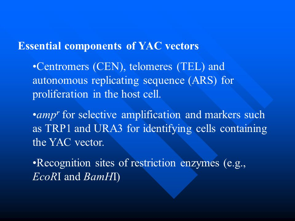 Essential components of YAC vectors Centromers (CEN), telomeres (TEL) and autonomous replicating sequence (ARS) for proliferation in the host cell. am