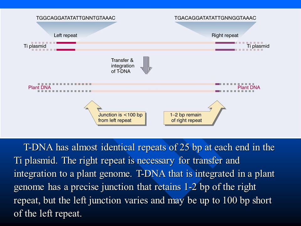 T-DNA has almost identical repeats of 25 bp at each end in the Ti plasmid. The right repeat is necessary for transfer and integration to a plant genom