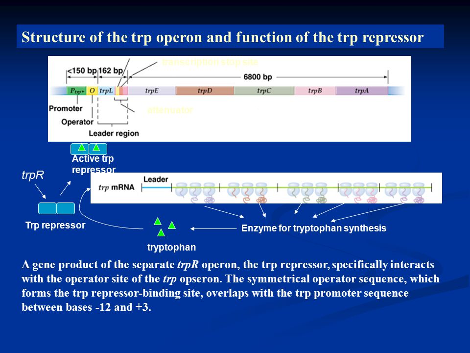 Structure of the trp operon and function of the trp repressor A gene product of the separate trpR operon, the trp repressor, specifically interacts with the operator site of the trp opseron.