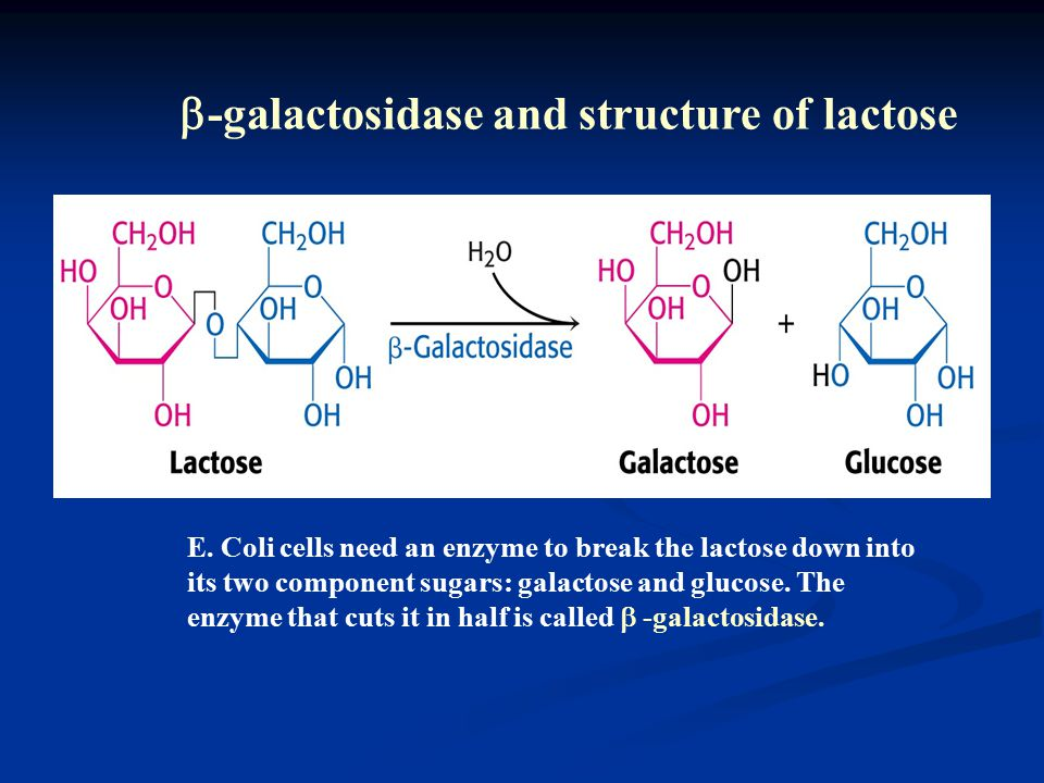 E. Coli cells need an enzyme to break the lactose down into its two component sugars: galactose and glucose. The enzyme that cuts it in half is called