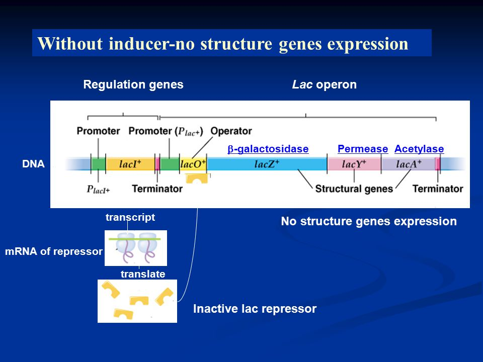 Lac operon DNA Regulation genes transcript translate mRNA of repressor Inactive lac repressor No structure genes expression Without inducer-no structure genes expression  -galactosidase PermeaseAcetylase