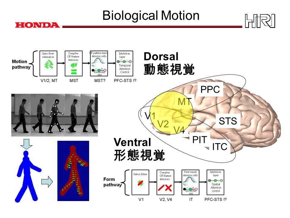 Biological Motion 動態視覚 Dorsal 形態視覚 MT PPC V1 PIT V4 V2 ITC Ventral STS