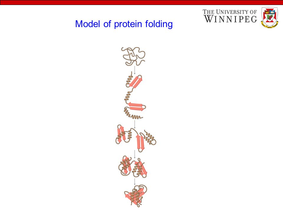 Model of protein folding