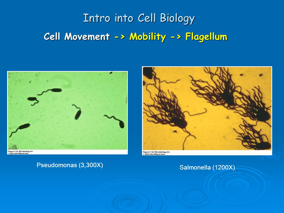 Intro into Cell Biology Cell Movement -> Mobility -> Flagellum Pseudomonas (3,300X) Salmonella (1200X)
