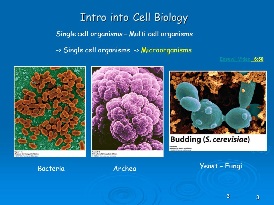 33 Intro into Cell Biology Single cell organisms – Multi cell organisms -> Single cell organisms -> Microorganisms BacteriaArchea Yeast - Fungi Eeeew.
