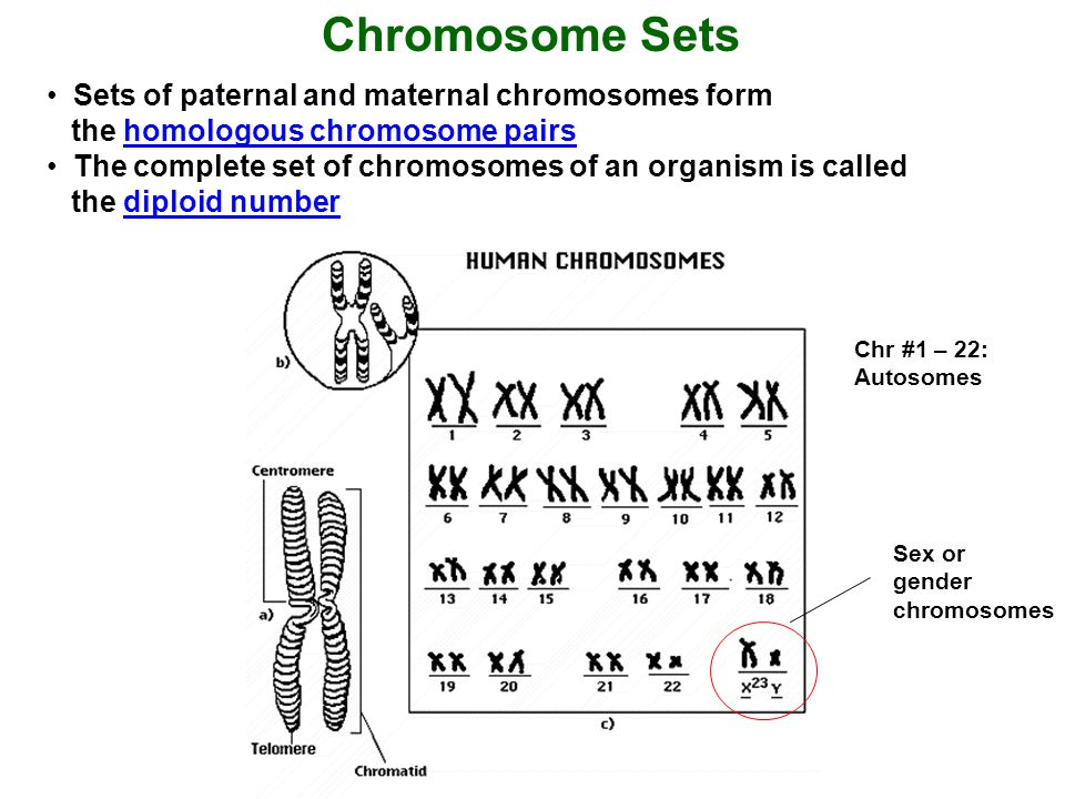 Early during embryogenesis, haploid gametes are formed by specialized cells, the primordial germ line cells, by a unique form of cell division called meiosis Meiosis involves reduction of the genetic material from a double (= diploid, 2n) chromosomal set to a single (= haploid, 1n) set Meiosis comprises two successive nuclear divisions with only one round of DNA replication Meiosis creates: 1.
