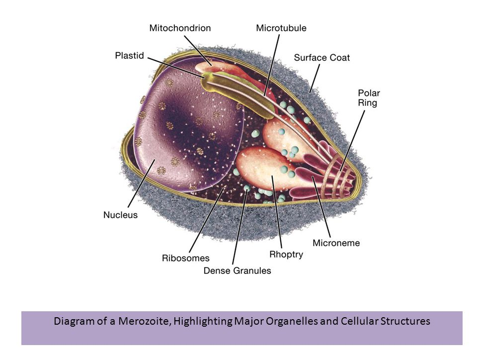 Diagram of a Merozoite, Highlighting Major Organelles and Cellular Structures