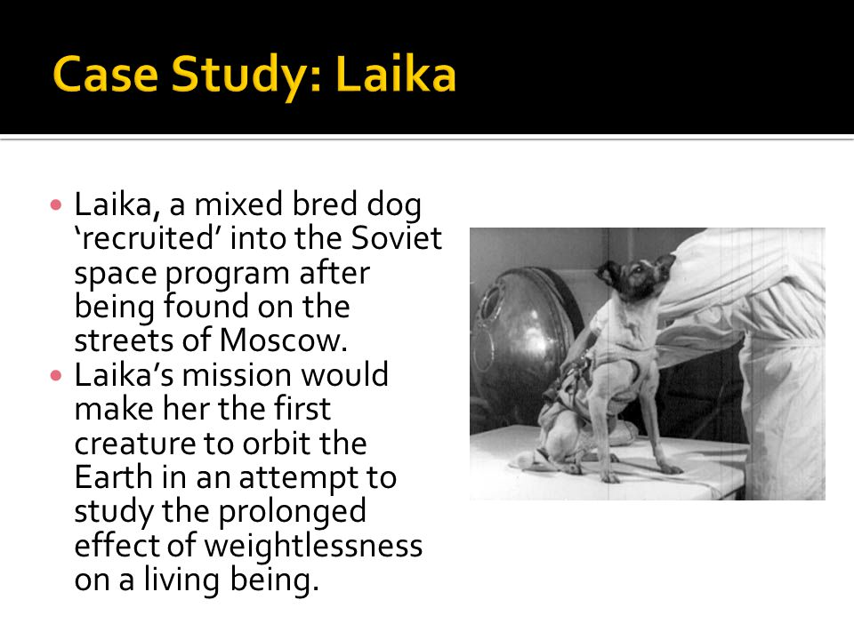 Laika, a mixed bred dog 'recruited' into the Soviet space program after being found on the streets of Moscow. Laika's mission would make her the first