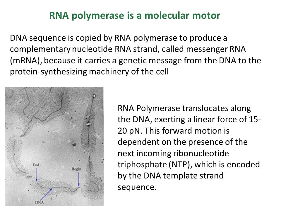 RNA polymerase is a molecular motor DNA sequence is copied by RNA polymerase to produce a complementary nucleotide RNA strand, called messenger RNA (mRNA), because it carries a genetic message from the DNA to the protein-synthesizing machinery of the cell RNA Polymerase translocates along the DNA, exerting a linear force of 15- 20 pN.