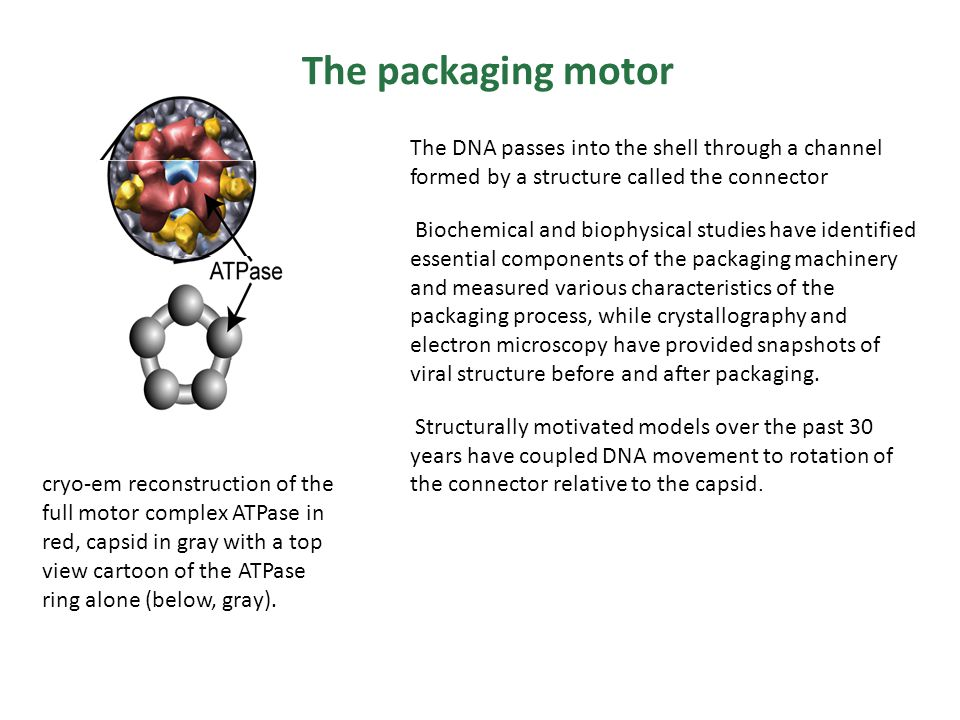 The DNA passes into the shell through a channel formed by a structure called the connector Biochemical and biophysical studies have identified essential components of the packaging machinery and measured various characteristics of the packaging process, while crystallography and electron microscopy have provided snapshots of viral structure before and after packaging.