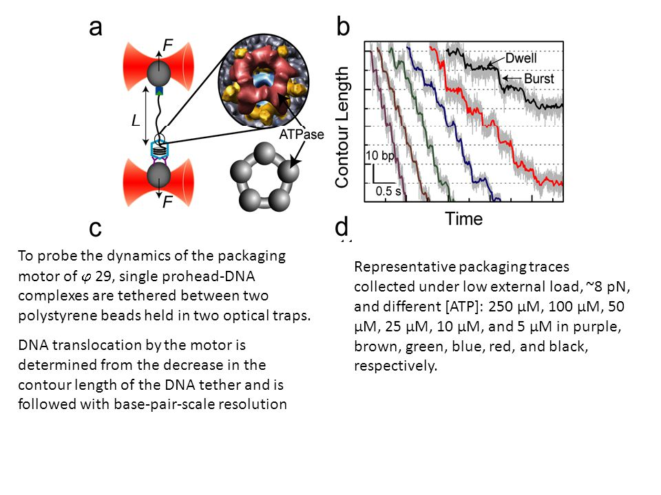 To probe the dynamics of the packaging motor of  29, single prohead-DNA complexes are tethered between two polystyrene beads held in two optical traps.