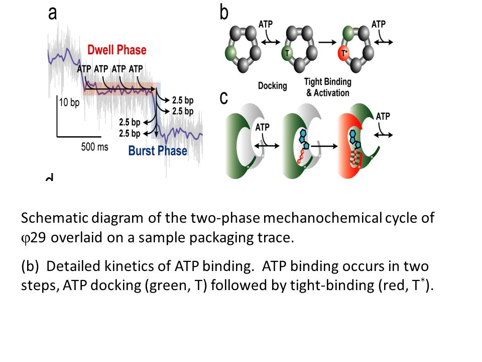 Schematic diagram of the two-phase mechanochemical cycle of  29 overlaid on a sample packaging trace.